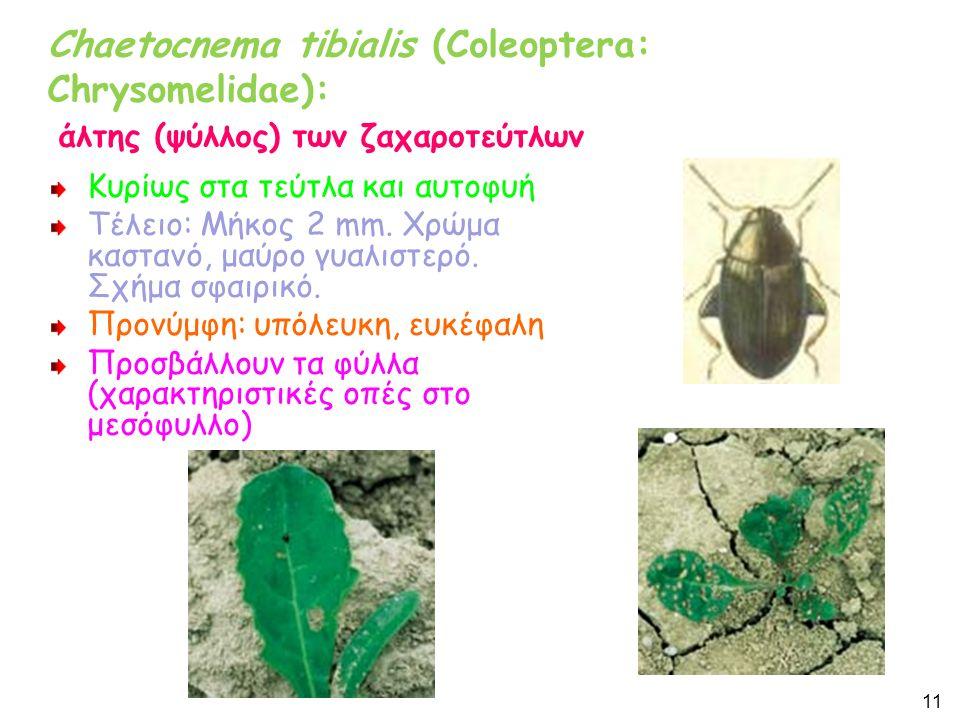 Chaetocnema tibialis (Coleoptera: Chrysomelidae): άλτης (ψύλλος) των ζαχαροτεύτλων Κυρίως στα τεύτλα και αυτοφυή Τέλειο: Μήκος 2 mm.