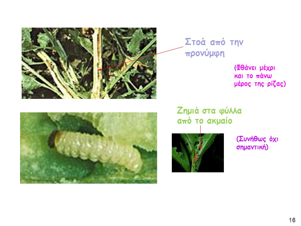 Στοά από την προνύμφη ( Φθάνει μέχρι και το πάνω μέρος της ρίζας) Ζημιά στα φύλλα από το ακμαίο (Συνήθως όχι σημαντική) 16