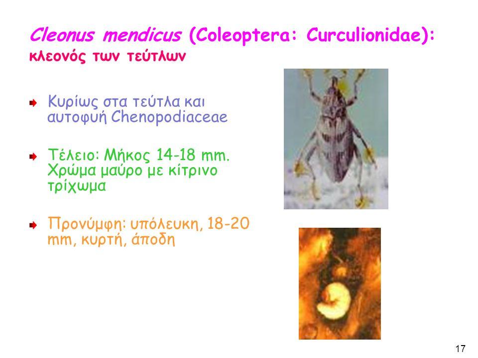 Cleonus mendicus (Coleoptera: Curculionidae): κλεονός των τεύτλων Κυρίως στα τεύτλα και αυτοφυή Chenopodiaceae Τέλειο: Μήκος 14-18 mm.
