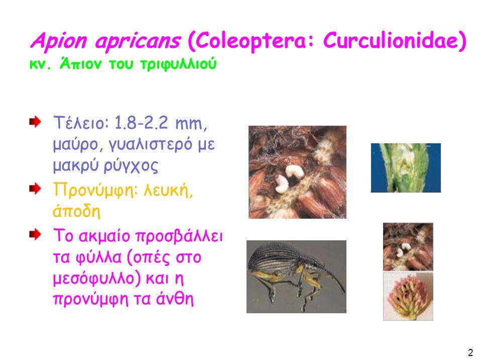 Apion apricans (Coleoptera: Curculionidae) κν.