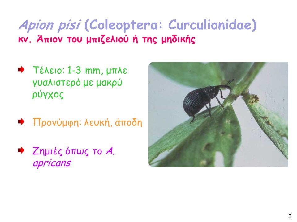 Bothynoderes punctiventris (Coleoptera: Curculionidae) Κυρίως στα τεύτλα αλλά και αυτοφυή Chenopodiaceae Τέλειο: Μήκος 10-13 mm.
