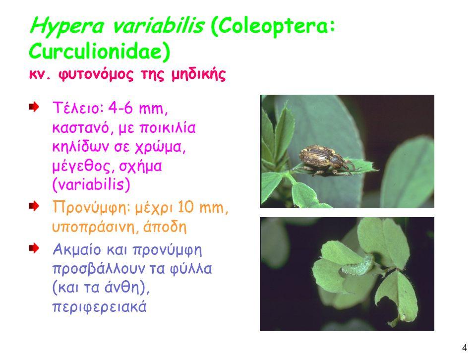 Lixus junci, Lixus scabriollis (Coleoptera: Curculionidae) Κυρίως στα τεύτλα αλλά και αυτοφυή Τέλειο: Μήκος 4-12 mm.