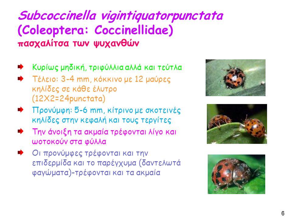 Subcoccinella vigintiquatorpunctata (Coleoptera: Coccinellidae) πασχαλίτσα των ψυχανθών Κυρίως μηδική, τριφύλλια αλλά και τεύτλα Τέλειο: 3-4 mm, κόκκινο με 12 μαύρες κηλίδες σε κάθε έλυτρο (12X2=24punctata) Προνύμφη: 5-6 mm, κίτρινο με σκοτεινές κηλίδες στην κεφαλή και τους τεργίτες Την άνοιξη τα ακμαία τρέφονται λίγο και ωοτοκούν στα φύλλα Οι προνύμφες τρέφονται και την επιδερμίδα και το παρέγχυμα (δαντελωτά φαγώματα)-τρέφονται και τα ακμαία 6