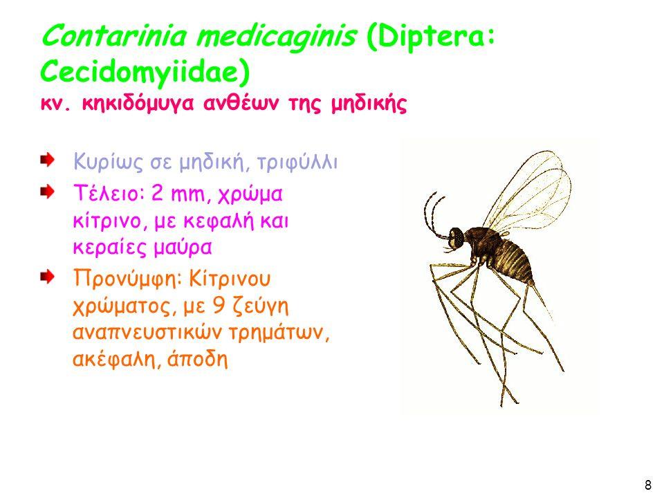 Contarinia medicaginis (Diptera: Cecidomyiidae) κν.