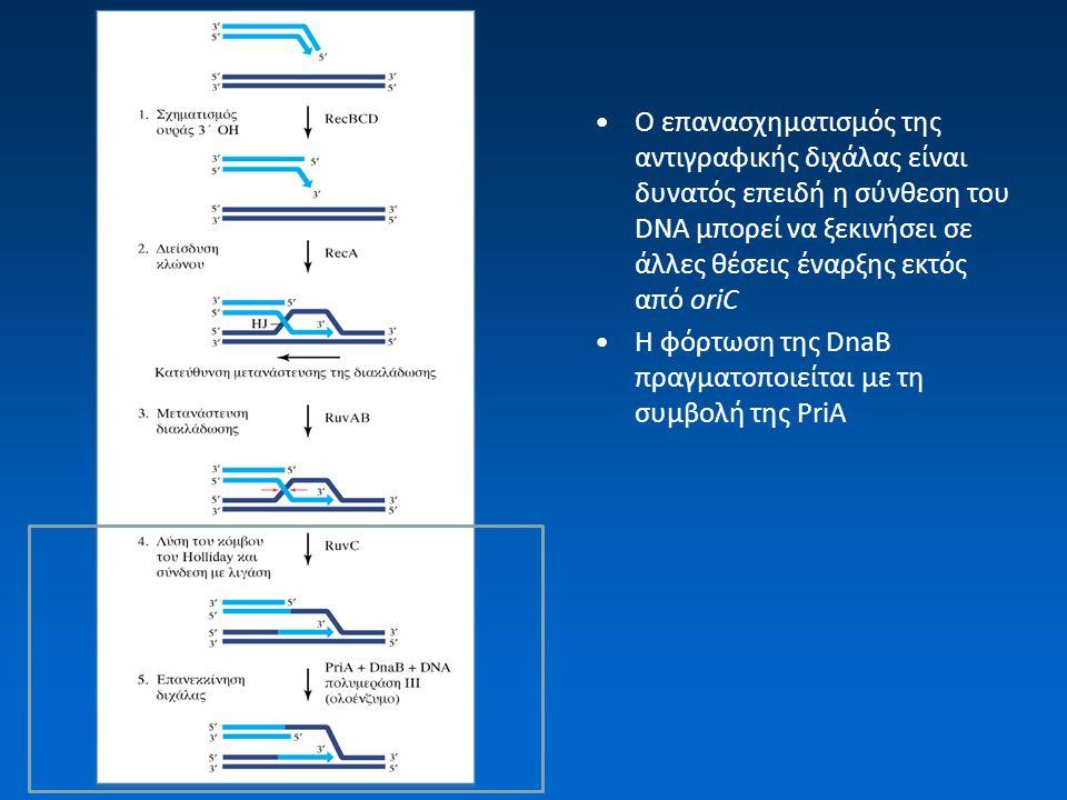 O επανασχηματισμός της αντιγραφικής διχάλας είναι δυνατός επειδή η σύνθεση του DNA μπορεί να ξεκινήσει σε άλλες θέσεις έναρξης εκτός από oriC Η φόρτωσ