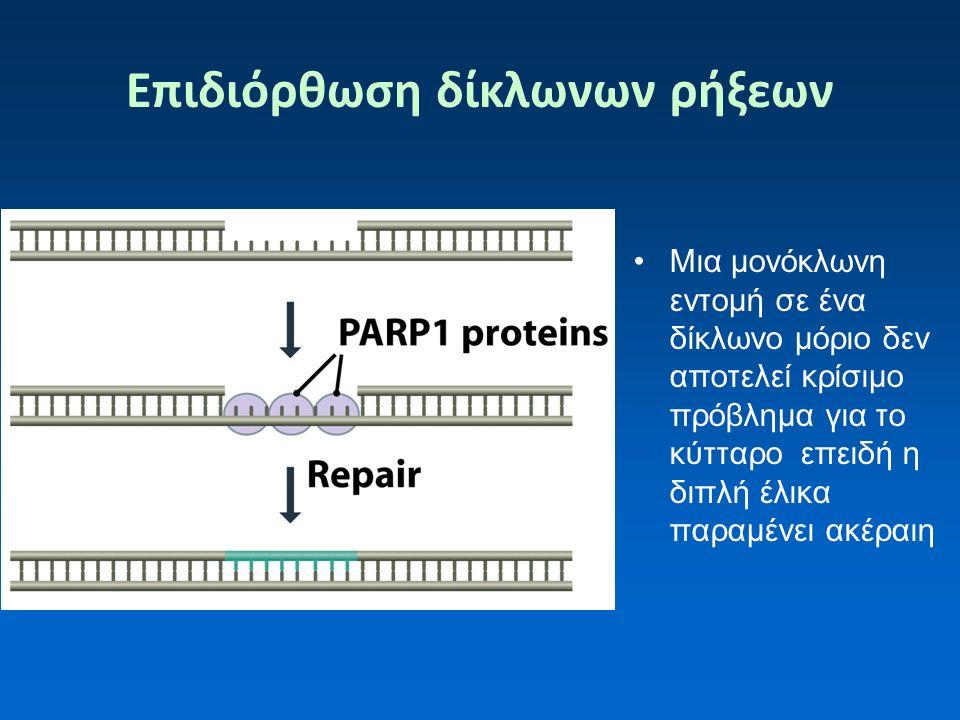 Επιδιόρθωση δίκλωνων ρήξεων Μια μονόκλωνη εντομή σε ένα δίκλωνο μόριο δεν αποτελεί κρίσιμο πρόβλημα για το κύτταρο επειδή η διπλή έλικα παραμένει ακέραιη