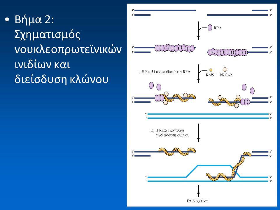 Βήμα 2: Σχηματισμός νουκλεοπρωτεϊνικών ινιδίων και διείσδυση κλώνου