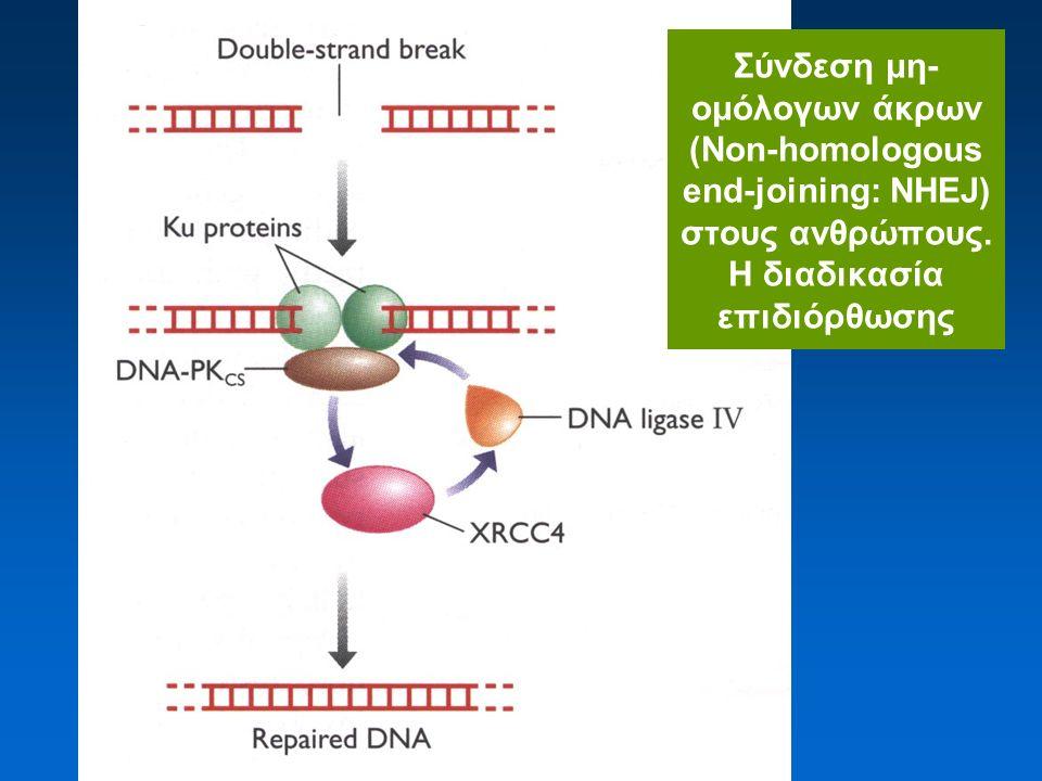 Σύνδεση μη- ομόλογων άκρων (Non-homologous end-joining: NHEJ) στους ανθρώπους.