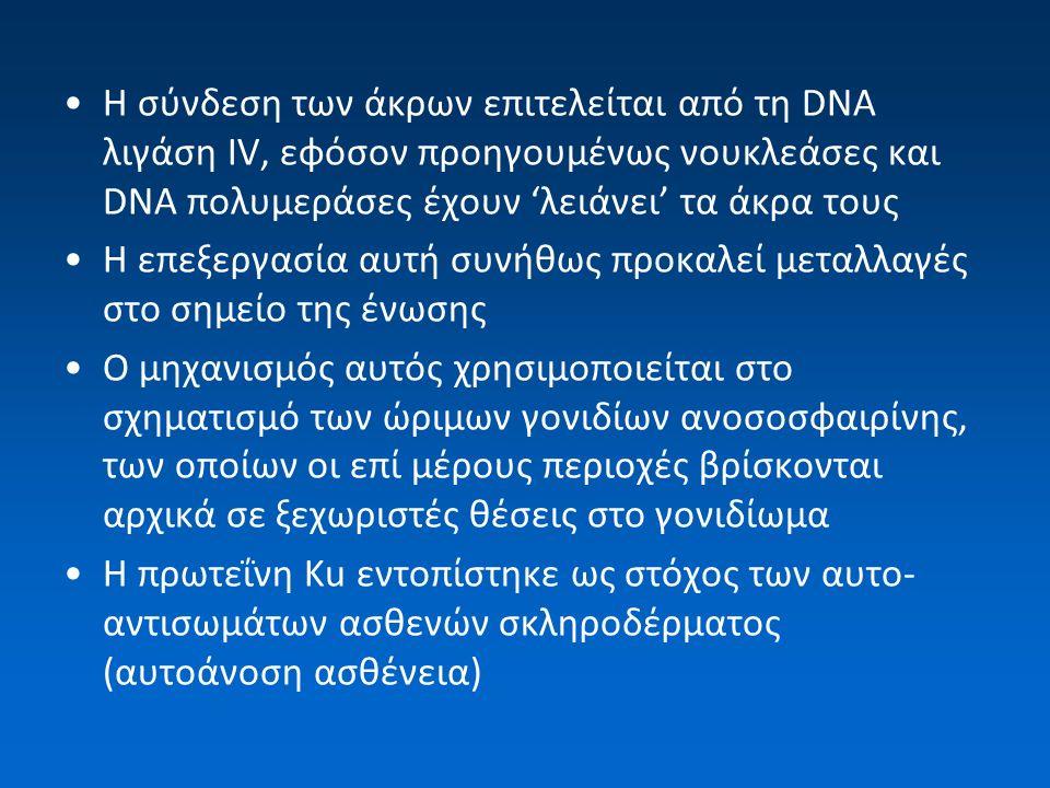 H σύνδεση των άκρων επιτελείται από τη DNA λιγάση IV, εφόσον προηγουμένως νουκλεάσες και DNA πολυμεράσες έχουν 'λειάνει' τα άκρα τους Η επεξεργασία αυ