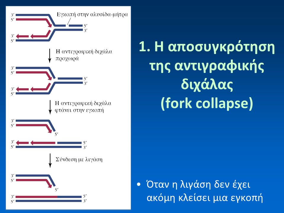 1. H αποσυγκρότηση της αντιγραφικής διχάλας (fork collapse) Όταν η λιγάση δεν έχει ακόμη κλείσει μια εγκοπή