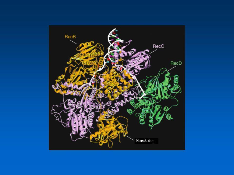 Η επεξεργασία των δίκλωνων ρήξεων από το σύμπλοκο RecBCD Το σύμπλοκο RecBCD έχει δράση νουκλεάσης και ελικάσης.