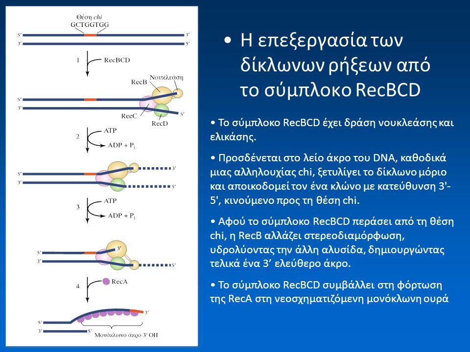 Μοντέλο δίκλωνων ρήξεων (εντομών) Δημιουργία δίκλωνης ρήξης (SPO11) σε ένα από τα δύο ανασυνδυαζόμενα μόρια Μια εξωνουκλεάση (EXO1 ή DNA2/helicase) δημιουργεί 3' προεξέχοντα άκρα και στα δύο μέρη Ένα από τα δύο 3' άκρα εισχωρεί στο ομόλογο DNA μόριο (Rad51/Dmc1)