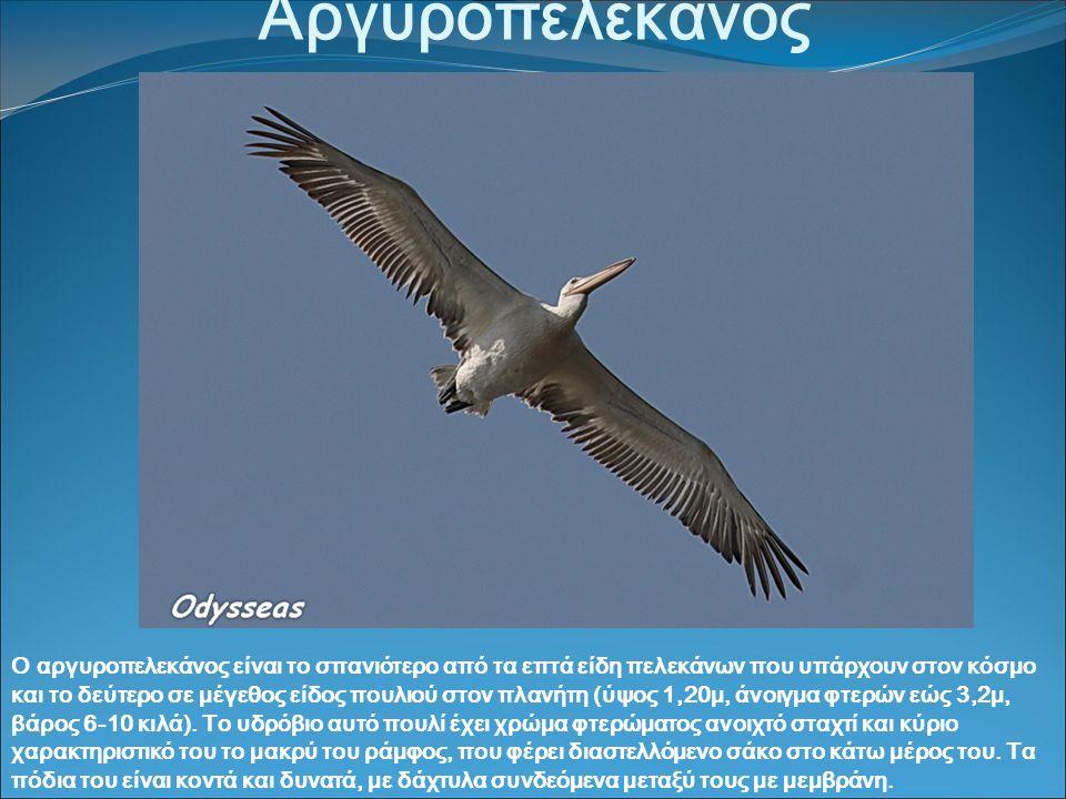 Αργυροπελεκάνος Ο αργυροπελεκάνος είναι το σπανιότερο από τα επτά είδη πελεκάνων που υπάρχουν στον κόσμο και το δεύτερο σε μέγεθος είδος πουλιού στον πλανήτη (ύψος 1,20μ, άνοιγμα φτερών εώς 3,2μ, βάρος 6-10 κιλά).