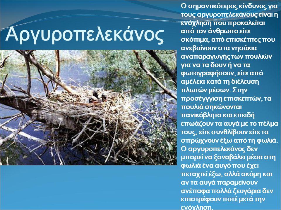 Αργυροπελεκάνος Ο σημαντικότερος κίνδυνος για τους αργυροπελεκάνους είναι η ενόχληση που προκαλείται από τον άνθρωπο είτε σκόπιμα, από επισκέπτες που ανεβαίνουν στα νησάκια αναπαραγωγής των πουλιών για να τα δουν ή να τα φωτογραφήσουν, είτε από αμέλεια κατά τη διέλευση πλωτών μέσων.