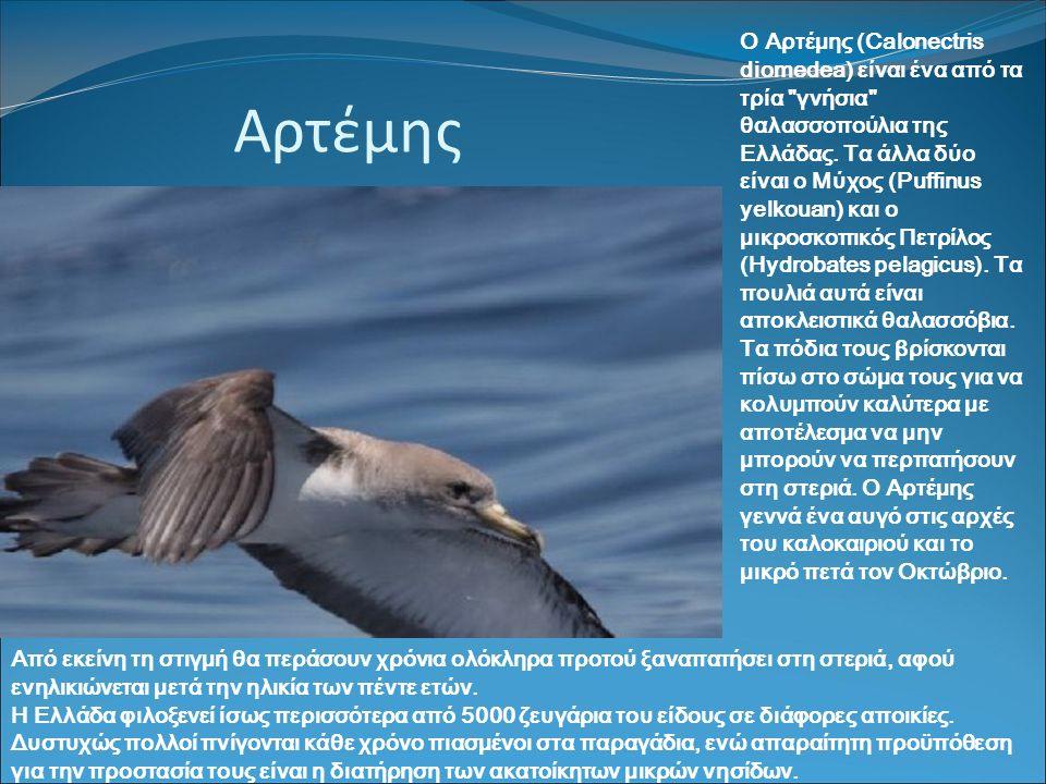 Αρτέμης Ο Αρτέμης (Calonectris diomedea) είναι ένα από τα τρία γνήσια θαλασσοπούλια της Ελλάδας.