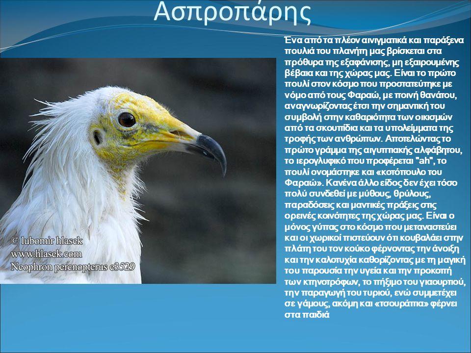 Ασπροπάρης Ένα από τα πλέον αινιγματικά και παράξενα πουλιά του πλανήτη μας βρίσκεται στα πρόθυρα της εξαφάνισης, μη εξαιρουμένης βέβαια και της χώρας μας.