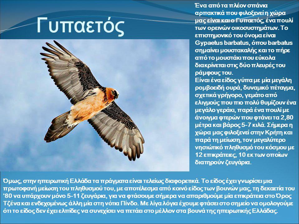 Γυπαετός Ένα από τα πλέον σπάνια αρπακτικά που φιλοξενεί η χώρα μας είναι και ο Γυπαετός, ένα πουλί των ορεινών οικοσυστημάτων.