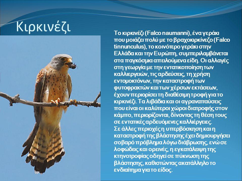 Κιρκινέζι Το κιρκινέζι (Falco naumanni), ένα γεράκι που μοιάζει πολύ με το βραχοκιρκίνεζο (Falco tinnunculus), το κοινότερο γεράκι στην Ελλάδα και την Ευρώπη, συμπεριλαμβάνεται στα παγκόσμια απειλούμενα είδη.