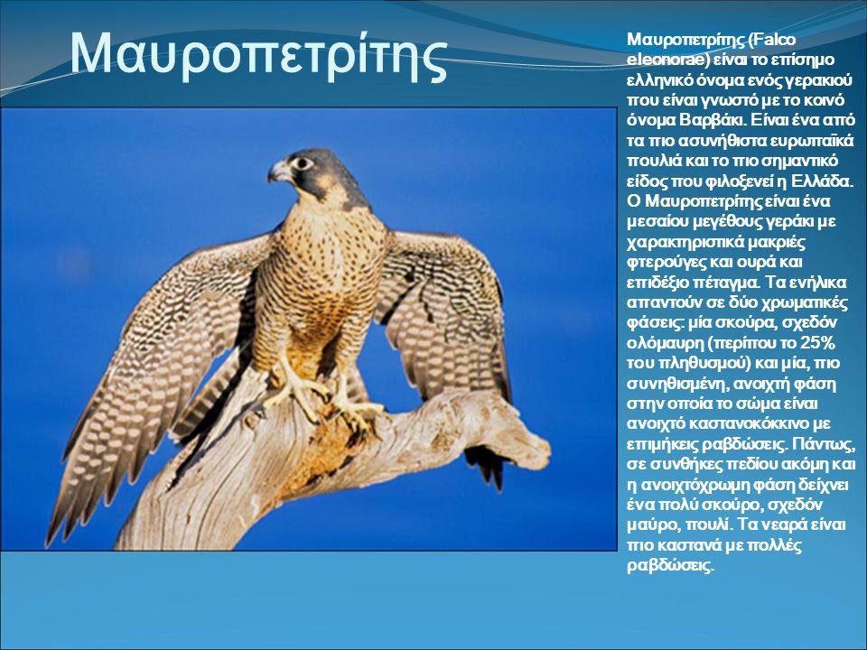 Μαυροπετρίτης Μαυροπετρίτης (Falco eleonorae) είναι το επίσημο ελληνικό όνομα ενός γερακιού που είναι γνωστό με το κοινό όνομα Βαρβάκι.