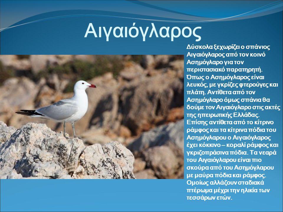 Αιγαιόγλαρος Δύσκολα ξεχωρίζει ο σπάνιος Αιγαιόγλαρος από τον κοινό Ασημόγλαρο για τον περιστασιακό παρατηρητή.