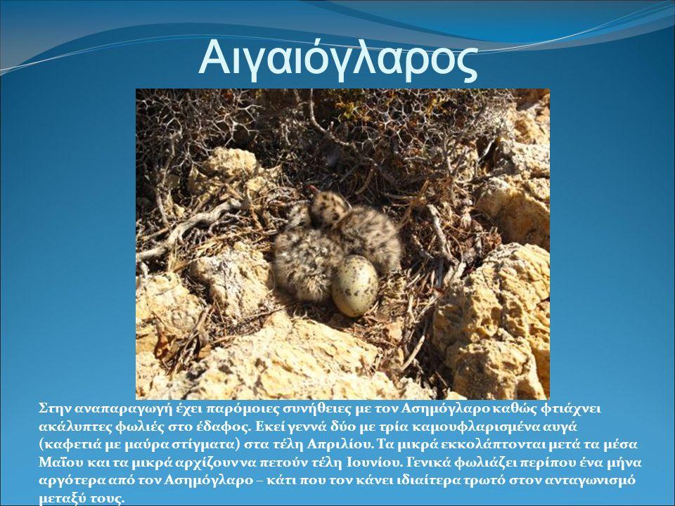Αιγαιόγλαρος Στην αναπαραγωγή έχει παρόμοιες συνήθειες με τον Ασημόγλαρο καθώς φτιάχνει ακάλυπτες φωλιές στο έδαφος.