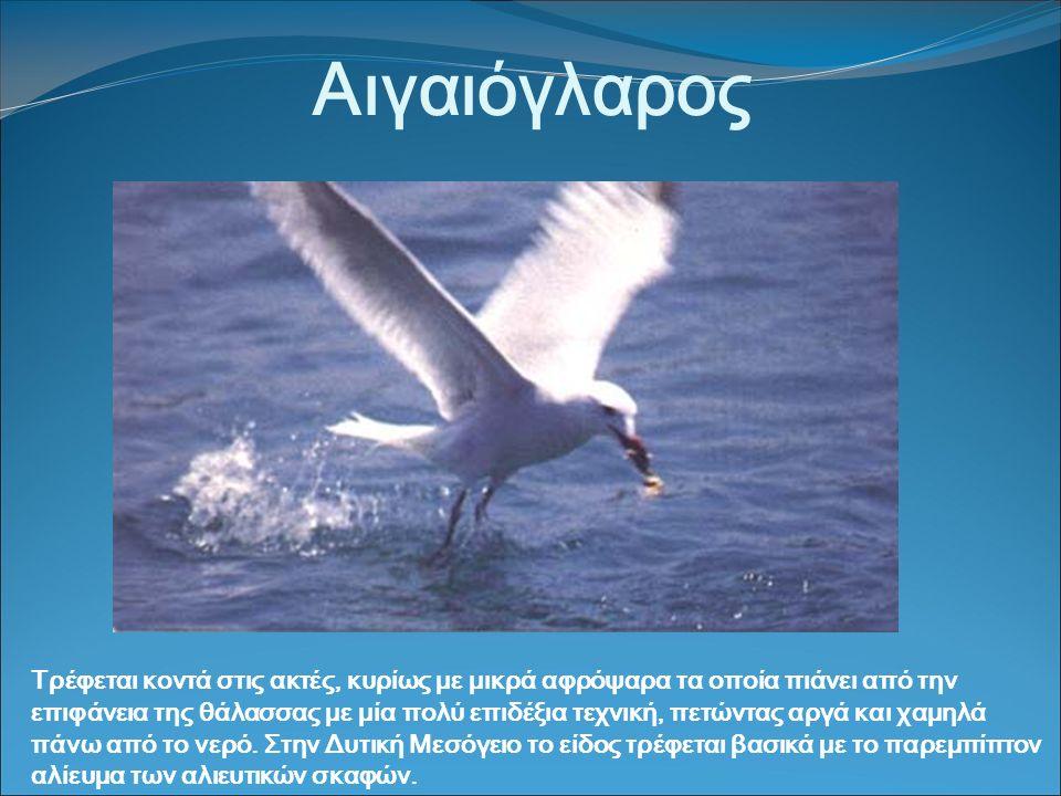 Αιγαιόγλαρος Τρέφεται κοντά στις ακτές, κυρίως με μικρά αφρόψαρα τα οποία πιάνει από την επιφάνεια της θάλασσας με μία πολύ επιδέξια τεχνική, πετώντας αργά και χαμηλά πάνω από το νερό.