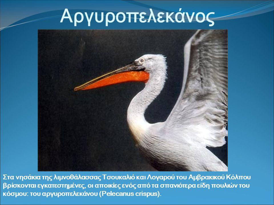 Αργυροπελεκάνος Στα νησάκια της λιμνοθάλασσας Τσουκαλιό και Λογαρού του Αμβρακικού Κόλπου βρίσκονται εγκατεστημένες, οι αποικίες ενός από τα σπανιότερα είδη πουλιών του κόσμου: του αργυροπελεκάνου (Pelecanus crispus).