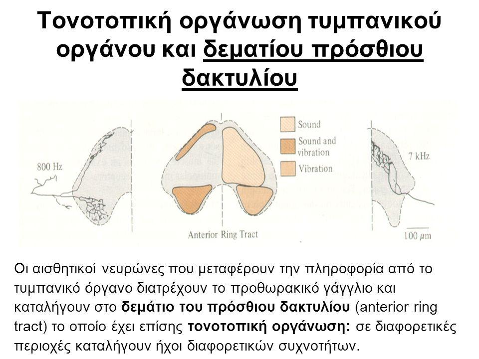 Τονοτοπική οργάνωση τυμπανικού οργάνου και δεματίου πρόσθιου δακτυλίου Οι αισθητικοί νευρώνες που μεταφέρουν την πληροφορία από το τυμπανικό όργανο διατρέχουν το προθωρακικό γάγγλιο και καταλήγουν στο δεμάτιο του πρόσθιου δακτυλίου (anterior ring tract) το οποίο έχει επίσης τονοτοπική οργάνωση: σε διαφορετικές περιοχές καταλήγουν ήχοι διαφορετικών συχνοτήτων.