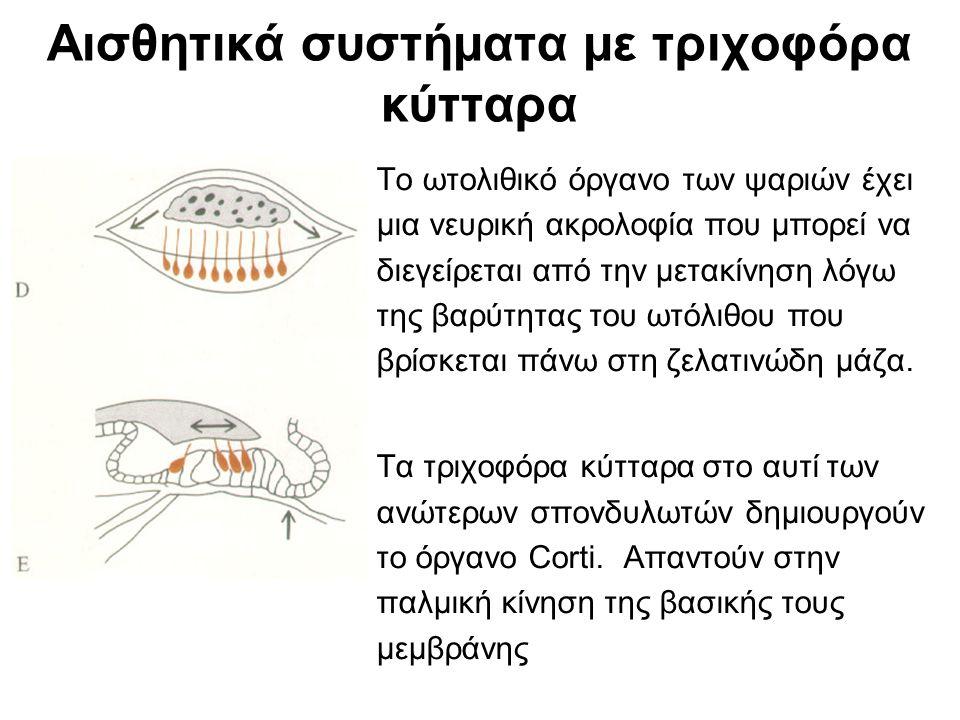 Αισθητικά συστήματα με τριχοφόρα κύτταρα Το ωτολιθικό όργανο των ψαριών έχει μια νευρική ακρολοφία που μπορεί να διεγείρεται από την μετακίνηση λόγω της βαρύτητας του ωτόλιθου που βρίσκεται πάνω στη ζελατινώδη μάζα.