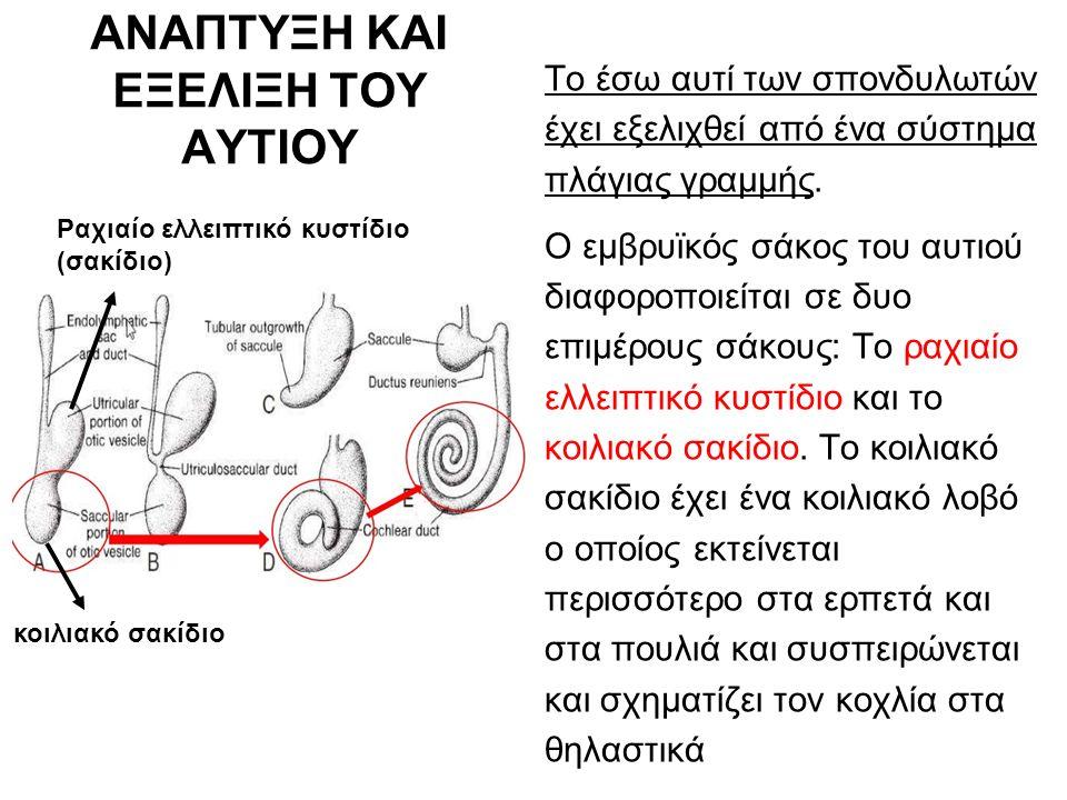 ΑΝΑΠΤΥΞΗ ΚΑΙ ΕΞΕΛΙΞΗ ΤΟΥ ΑΥΤΙΟΥ Το έσω αυτί των σπονδυλωτών έχει εξελιχθεί από ένα σύστημα πλάγιας γραμμής.
