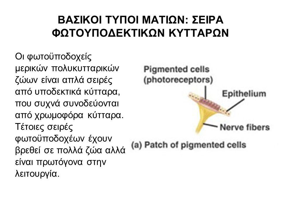 ΒΑΣΙΚΟΙ ΤΥΠΟΙ ΜΑΤΙΩΝ: ΣΕΙΡΑ ΦΩΤΟΥΠΟΔΕΚΤΙΚΩΝ ΚΥΤΤΑΡΩΝ Οι φωτοϋποδοχείς μερικών πολυκυτταρικών ζώων είναι απλά σειρές από υποδεκτικά κύτταρα, που συχνά συνοδεύονται από χρωμοφόρα κύτταρα.
