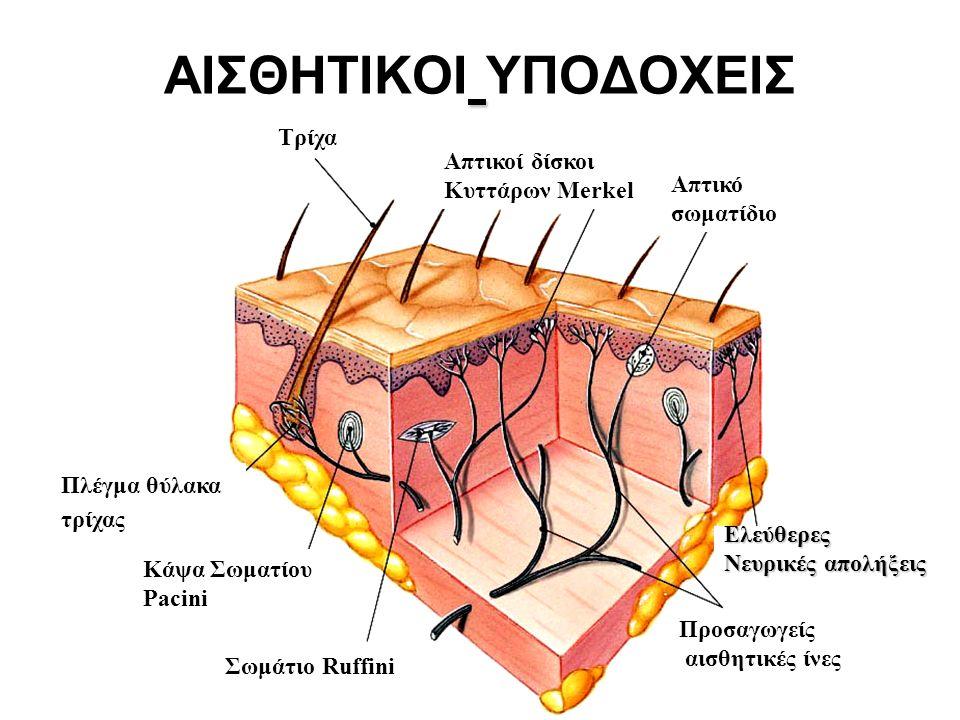 ΑΙΣΘΗΤΙΚΟΙ ΥΠΟΔΟΧΕΙΣ Πλέγμα θύλακα τρίχας Κάψα Σωματίου Pacini Σωμάτιο Ruffini Απτικοί δίσκοι Κυττάρων Merkel Απτικό σωματίδιο Ελεύθερες Νευρικές απολήξεις Προσαγωγείς αισθητικές ίνες Τρίχα