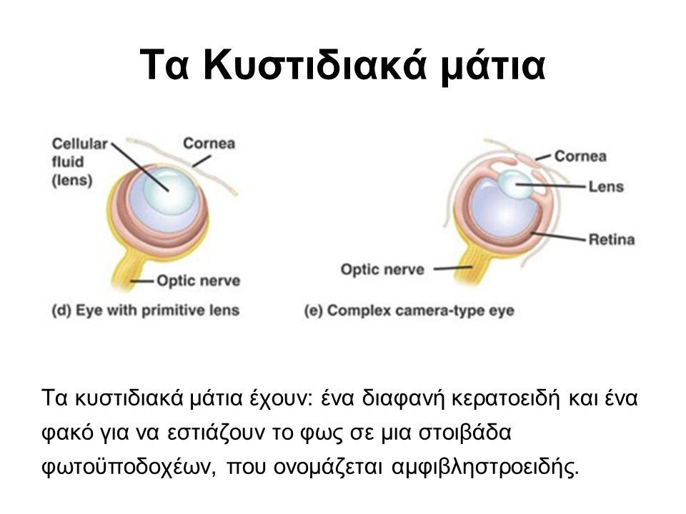 Τα Κυστιδιακά μάτια Τα κυστιδιακά μάτια έχουν: ένα διαφανή κερατοειδή και ένα φακό για να εστιάζουν το φως σε μια στοιβάδα φωτοϋποδοχέων, που ονομάζεται αμφιβληστροειδής.