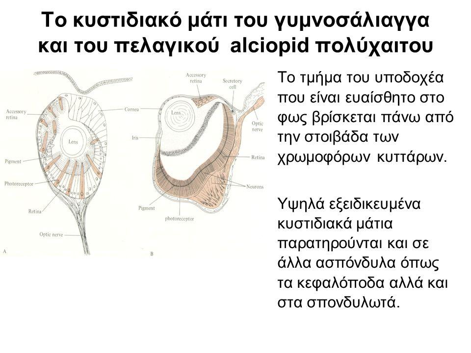 Το κυστιδιακό μάτι του γυμνοσάλιαγγα και του πελαγικού alciopid πολύχαιτου Το τμήμα του υποδοχέα που είναι ευαίσθητο στο φως βρίσκεται πάνω από την στοιβάδα των χρωμοφόρων κυττάρων.