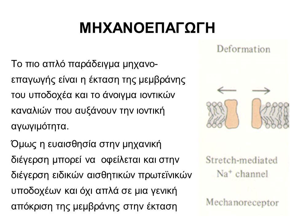 ΜΗΧΑΝΙΣΜΟΙ ΕΣΤΙΑΣΗΣ (4) Τα κυρτά μάτια είναι πάντα σε εστίαση και δεν χρειάζονται μηχανισμούς εστίασης.
