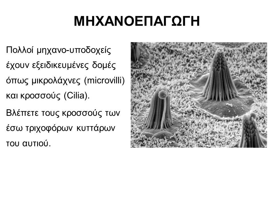 ΜΗΧΑΝΟΕΠΑΓΩΓΗ Πολλοί μηχανο-υποδοχείς έχουν εξειδικευμένες δομές όπως μικρολάχνες (microvilli) και κροσσούς (Cilia).