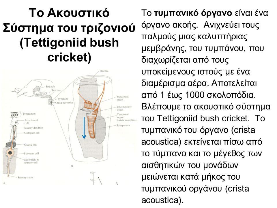 Το τυμπανικό όργανο έχει τονοτοπική οργάνωση (Tettigoniid bush cricket) Το τυμπανικό όργανο έχει τονοτοπική οργάνωση αφού υπάρχει αντιστοιχία της ανατομικής θέσης των σκολοποδίων και της ευαισθησίας τους στις ηχητικές συχνότητες.