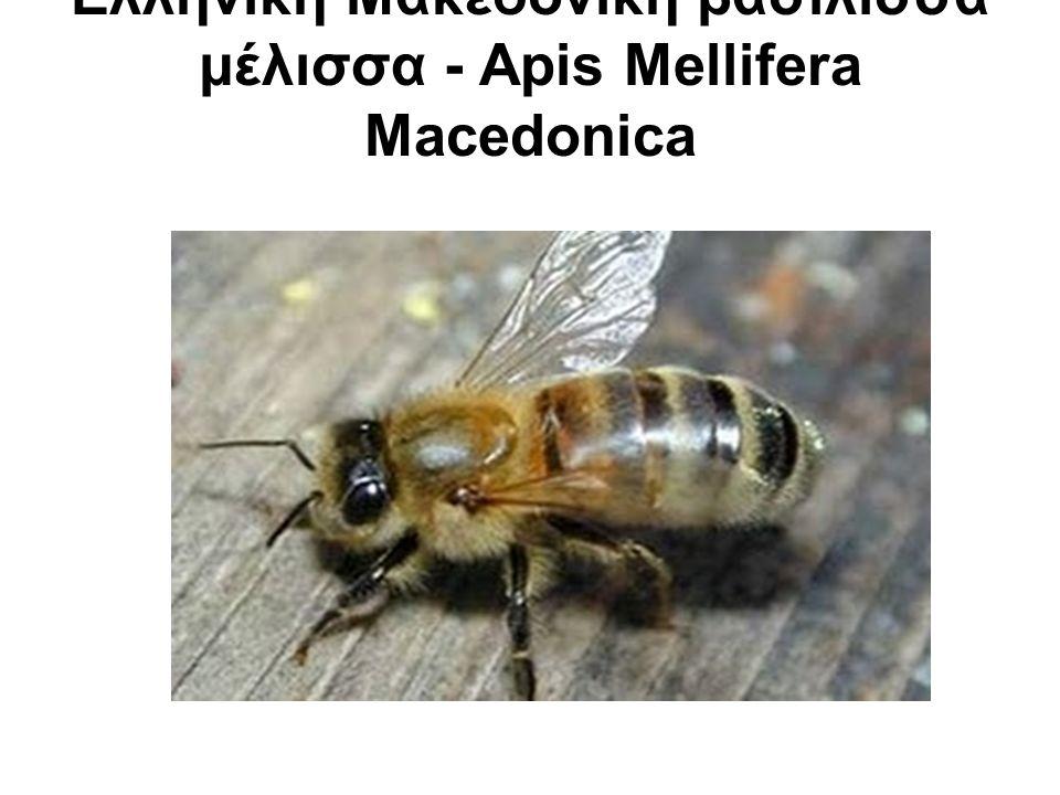 Η macedonica είναι μια μέλισσα που αρχικά βρισκόταν στην Μακεδονία και την Θράκη.