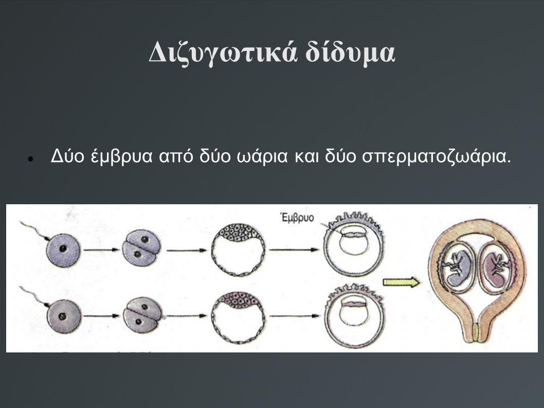Διζυγωτικά δίδυμα Δύο έμβρυα από δύο ωάρια και δύο σπερματοζωάρια.