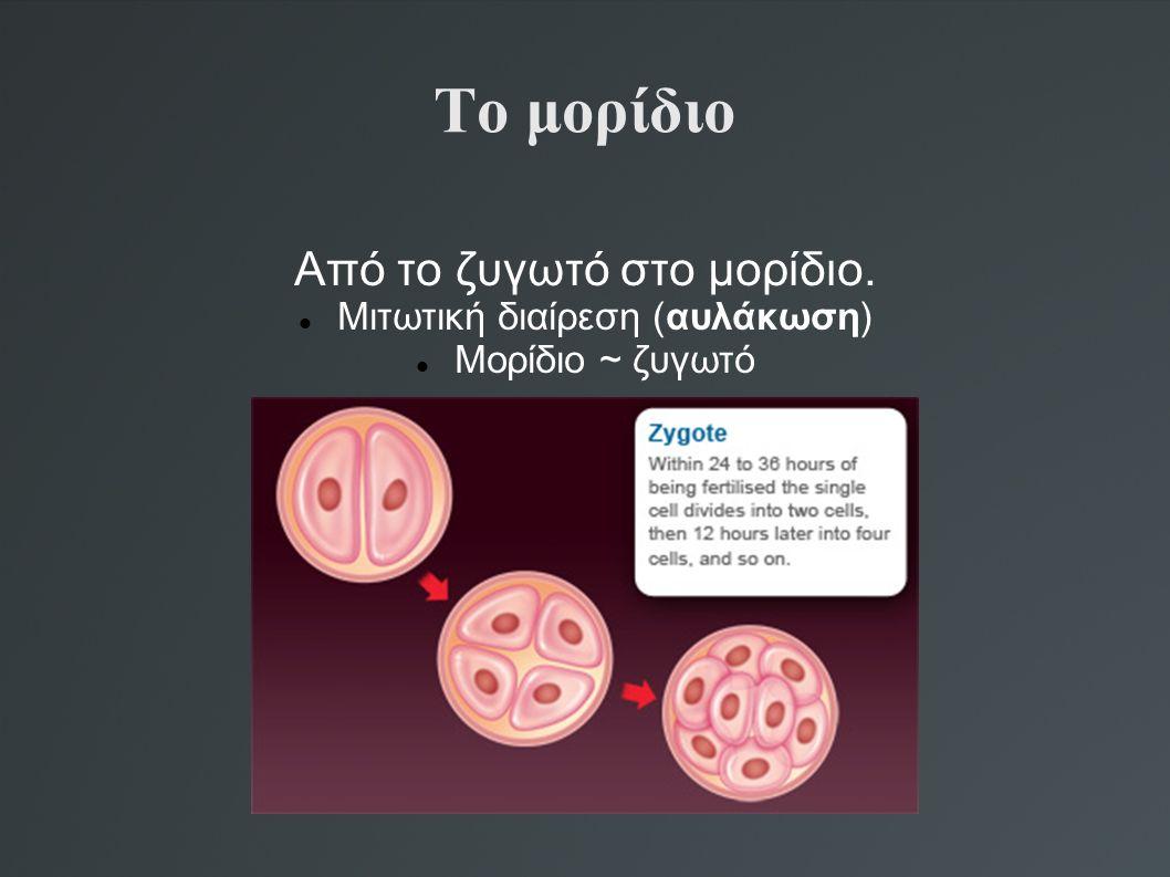 Το μορίδιο Από το ζυγωτό στο μορίδιο. Μιτωτική διαίρεση (αυλάκωση) Μορίδιο ~ ζυγωτό
