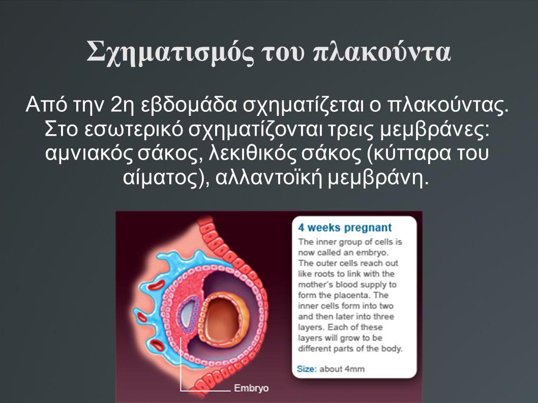 Σχηματισμός του πλακούντα Από την 2η εβδομάδα σχηματίζεται ο πλακούντας. Στο εσωτερικό σχηματίζονται τρεις μεμβράνες: αμνιακός σάκος, λεκιθικός σάκος