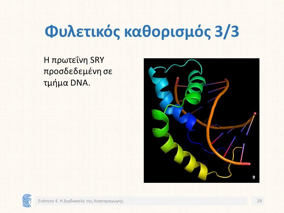 Φυλετικός καθορισμός 3/3 Η πρωτεΐνη SRY προσδεδεμένη σε τμήμα DNA.