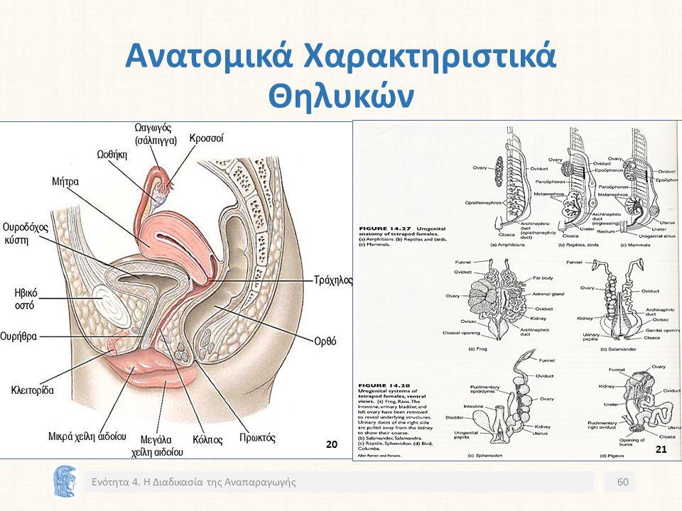 Ανατομικά Χαρακτηριστικά Θηλυκών Ενότητα 4. Η Διαδικασία της Αναπαραγωγής60 20 21