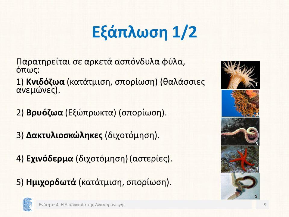 Εξάπλωση 1/2 Ενότητα 4. Η Διαδικασία της Αναπαραγωγής9 3) Δακτυλιοσκώληκες (διχοτόμηση).