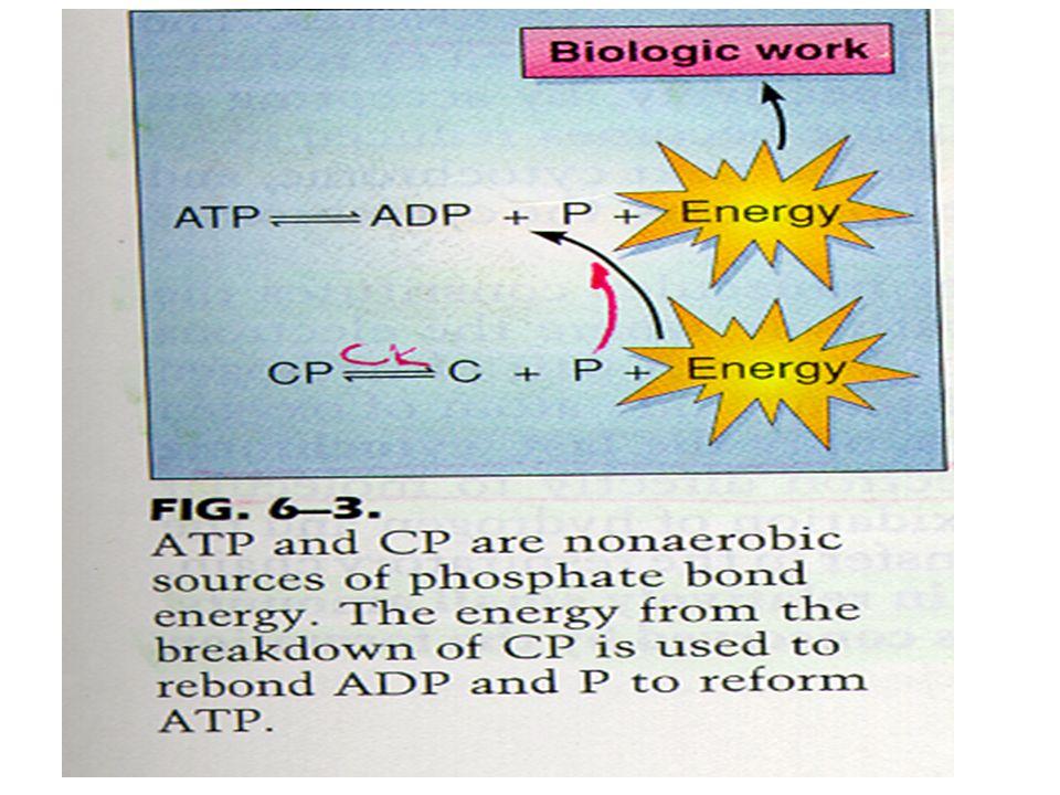 3 Ισοένζυμα CK CK-1 ή CK-BB.Αφθονεί στον εγκέφαλο και στους λείους μύες CK-2 ή CK-ΜB.