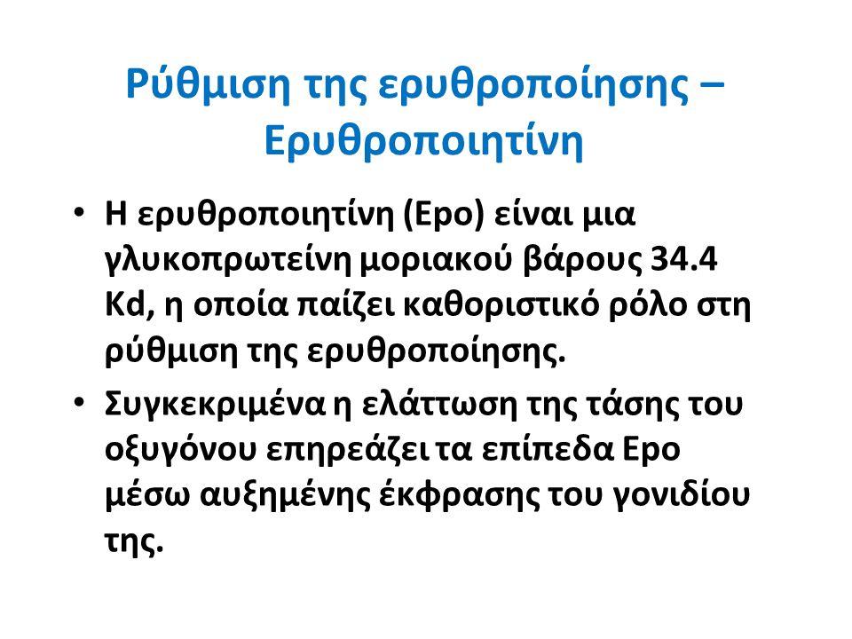 Ρύθμιση της ερυθροποίησης – Ερυθροποιητίνη Η ερυθροποιητίνη (Εpο) είναι μια γλυκοπρωτείνη μοριακού βάρους 34.4 Kd, η οποία παίζει καθοριστικό ρόλο στη ρύθμιση της ερυθροποίησης.