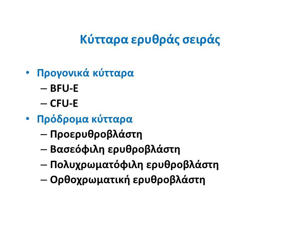 Κύτταρα ερυθράς σειράς Προγονικά κύτταρα – BFU-E – CFU-E Πρόδρομα κύτταρα – Προερυθροβλάστη – Βασεόφιλη ερυθροβλάστη – Πολυχρωματόφιλη ερυθροβλάστη – Ορθοχρωματική ερυθροβλάστη