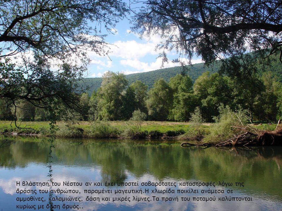Η βλάστηση του Νέστου αν και έχει υποστεί σοβαρότατες καταστροφές λόγω της δράσης του ανθρώπου, παραμένει μαγευτική.Η χλωρίδα ποικίλει ανάμεσα σε αμμοθίνες, καλαμιώνες, δάση και μικρές λίμνες.Τα πρανή του ποταμού καλύπτονται κυρίως με δάση δρυός..