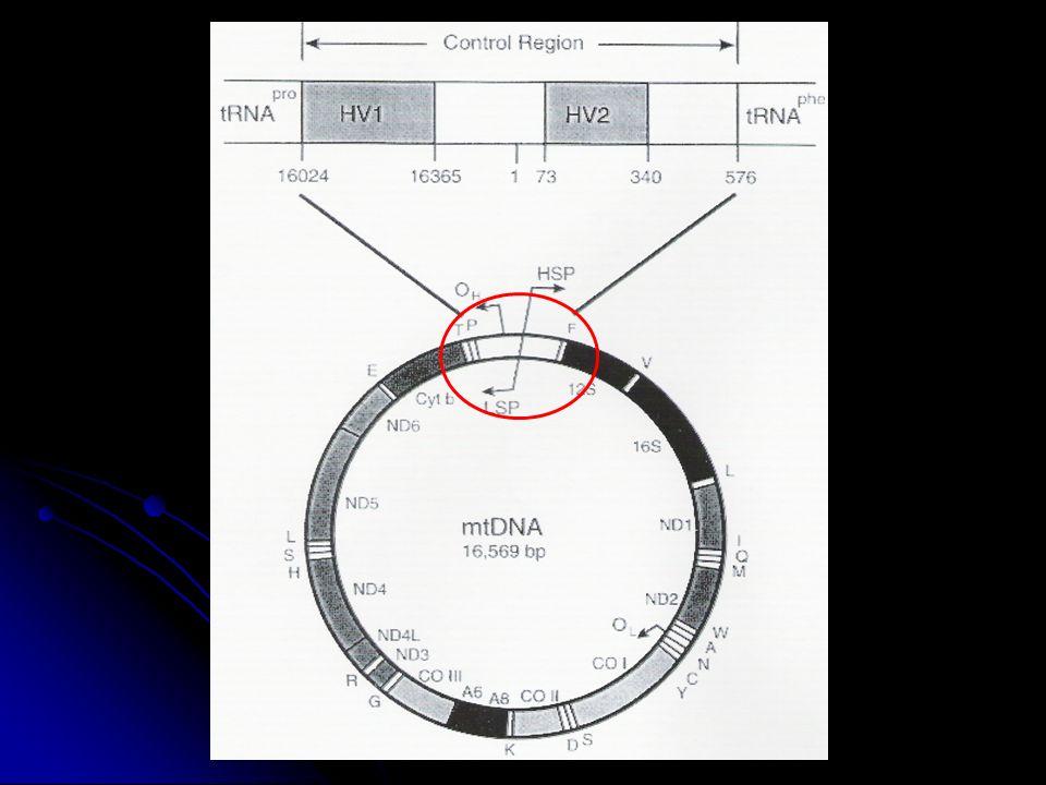 mtDNASRY, Y chr Συνεισφορά γονιδίων 3 domestics : 1 musculus Εξέλιξη εργαστηριακού ποντικιού