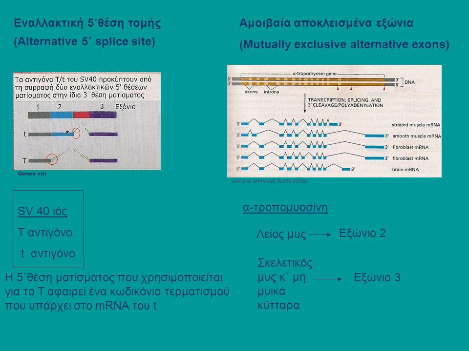 Εναλλακτική 5΄θέση τομής (Alternative 5΄ splice site) Αμοιβαία αποκλεισμένα εξώνια (Mutually exclusive alternative exons) SV 40 ιός T αντιγόνο t αντιγόνο Η 5΄θέση ματίσματος που χρησιμοποιείται για το Τ αφαιρεί ένα κωδικόνιο τερματισμού που υπάρχει στο mRNA του t Genes viii Mol.biol.of the cell, fourth edition α-τροπομυοσίνη Λείος μυς Εξώνιο 2 Σκελετικός μυς κ΄ μη μυικά κύτταρα Εξώνιο 3